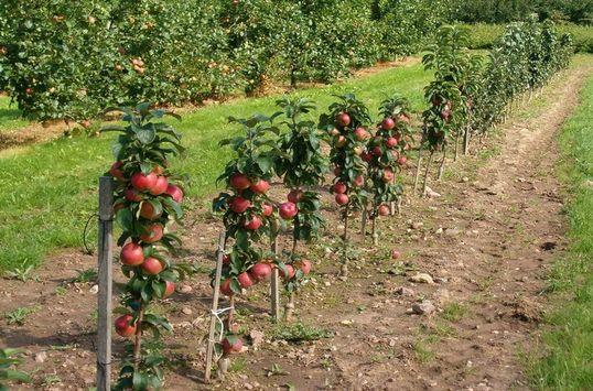 Какие саженцы яблони лучше сажать?