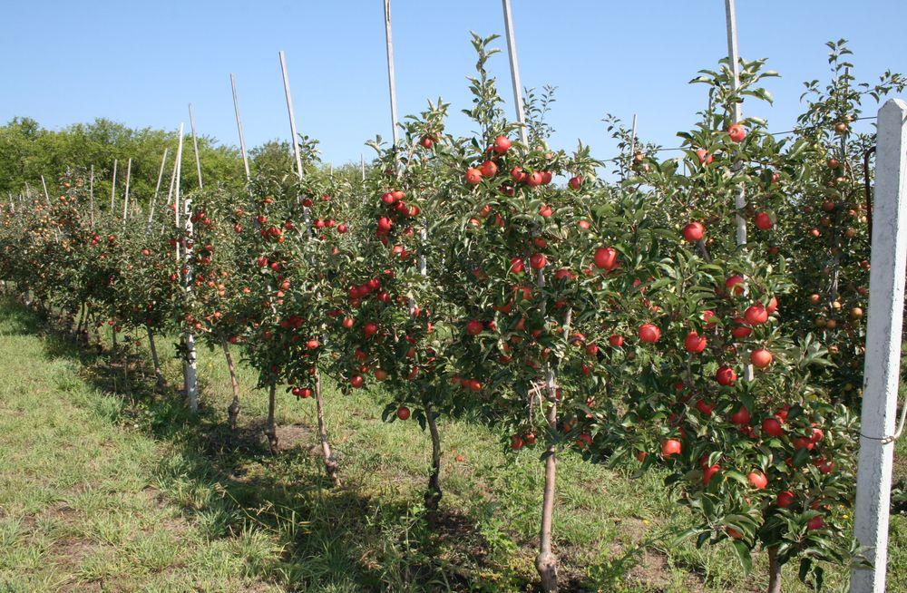 Саженцы-яблони.jpg